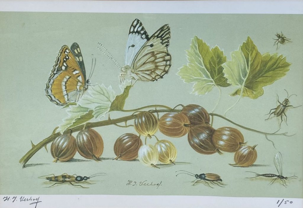 Kunst te koop bij Galerie Wijdemeren van kunstschilder Hans Verhoef Stilleven met vlinders en insecten litho, beeldmaat 19 x 27.5 cm linksonder handgesigneerd, rechtsonder oplage 1/50